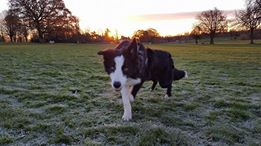 Border Collie in the park at sunrise