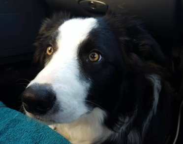 Border Collie fixated star
