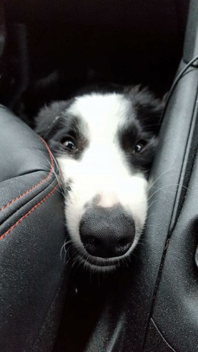 Dog funny face border collie car