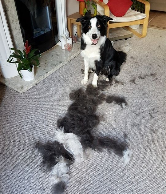 furry dog border collie moulting