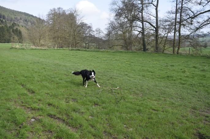 Border collie in field