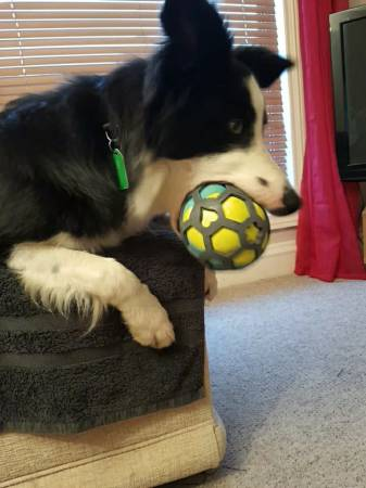 border collie with ball