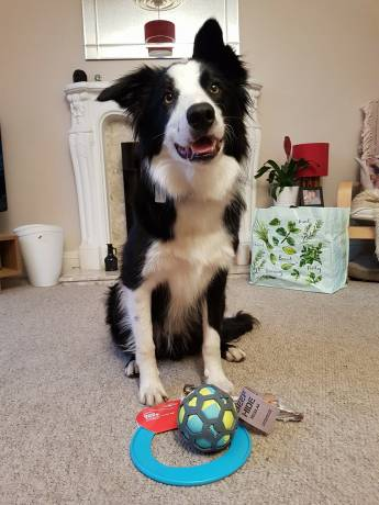 birthday presents dog border collie